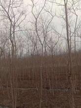 衡阳乌桕苗种植园图片