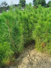 湘潭湿地松苗价格图片