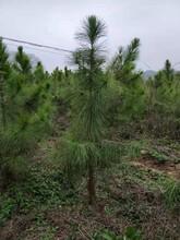 福州湿地松苗作用功能图片