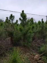 随州湿地松苗品种介绍图片