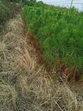 蘇州濕地松苗圖片