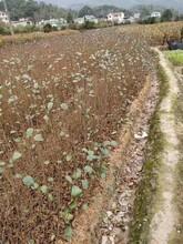 徐州江南桤木苗品种齐全图片