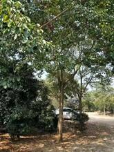 赣州重阳木苗品种介绍图片