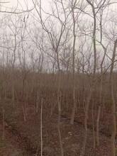 韶关乌桕苗种植园图片