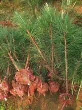 汕頭濕地松苗圖片
