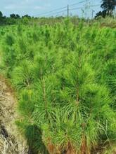 湿地松苗供应图片
