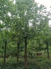 江西马褂木苗种植地图片