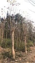 江西馬褂木苗品種齊全圖片