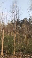 衡陽馬褂木苗種植園圖片