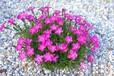 深圳銷售時花盆栽