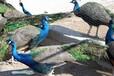 昆明孔雀养殖技术