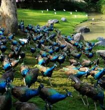 惠州观赏孔雀养殖图片