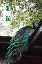 河南孔雀养殖基地图片