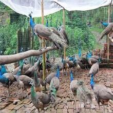 湖南孔雀价格图片