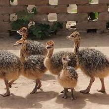非洲鸵鸟种苗价格图片