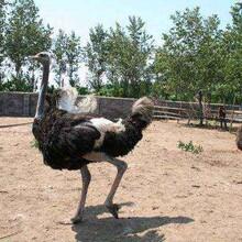 石家庄非洲鸵鸟养殖基地图片