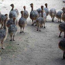 河南鸵鸟养殖场图片