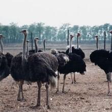 云南非洲鸵鸟批发价格图片