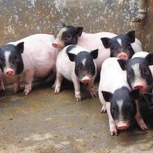 武威香猪养殖图片