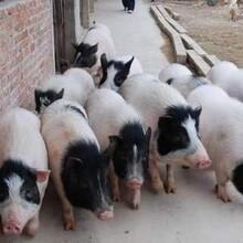 新乡香猪种苗图片