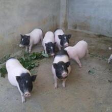 焦作香猪种苗价格图片