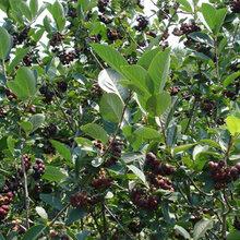 广东黑果花楸果种植基地图片