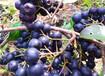 甘肃兴隆黑果花楸果种植园