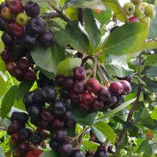 青海黑果花楸果种植基地图片