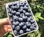 江蘇興隆藍莓果供應商