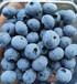 北京蓝莓果批发价格