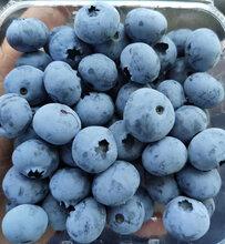 江苏蓝莓果供应商图片