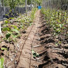 湖北兴隆软枣子苗种植基地图片