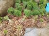 良種天冬苗出售合作,天門冬種植