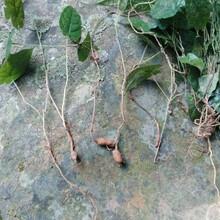 陽江金果欖種苗批發價格圖片