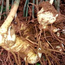 海南黄精种苗价格实惠图片