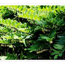 山东黄精种苗种苗价格图片