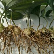 自贡黄精种苗种植园图片
