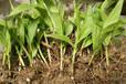 白芨花种苗,白芨种植技术