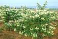 農之福金銀花種植,樹型金銀花苗
