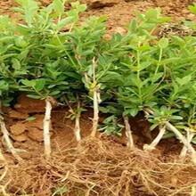 农之福金银花种植,金银花种植方法图片