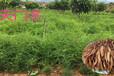 农之福天冬价格,衡阳天冬种苗种植基地