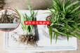農業生態白芨種植,白芨種植
