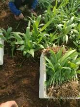 黔東南農之福紫花三叉白芨種苗品質優良,白芨價格圖片
