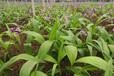 白芨種植投入成本,白芨種植技術