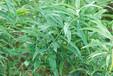 中藥黃精的種植環境,黃精種植