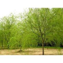 湖南垂柳苗种植基地