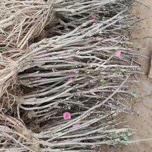 山东牡丹苗种植基地批发