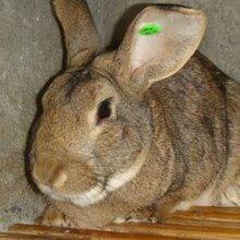 供应比利时兔肉兔比利时种兔兔子图片