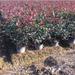 60公分冠幅红叶石楠大桶苗80公分高度基地在浙江金华