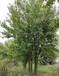 叢生三角楓價格5-9米高